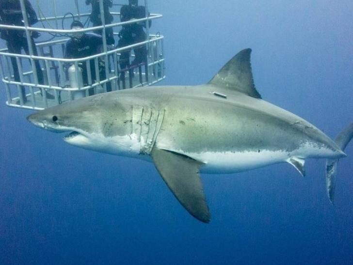 Güney Afrika'da büyük beyaz köpek balıkları ile dalış yapmak