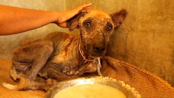 Ölmek Üzereyken Kurtarılan Köpeğin İçler Acısı Hali Herkesi Ağlattı [Video]