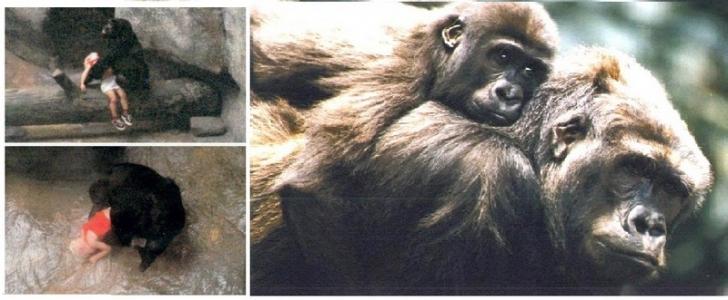 Gorillerin Arasına Düşen Çocuğun Başına Ne Geldi Dersiniz?