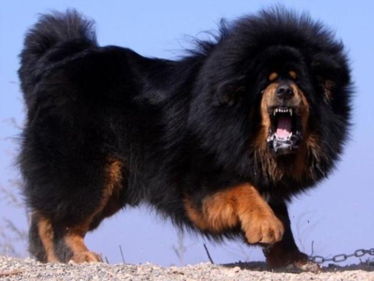 Bir Eşek Kadar Yüksek Ve Sesi Bir Aslanınki Kadar Güçlü: Tibet Mastifi