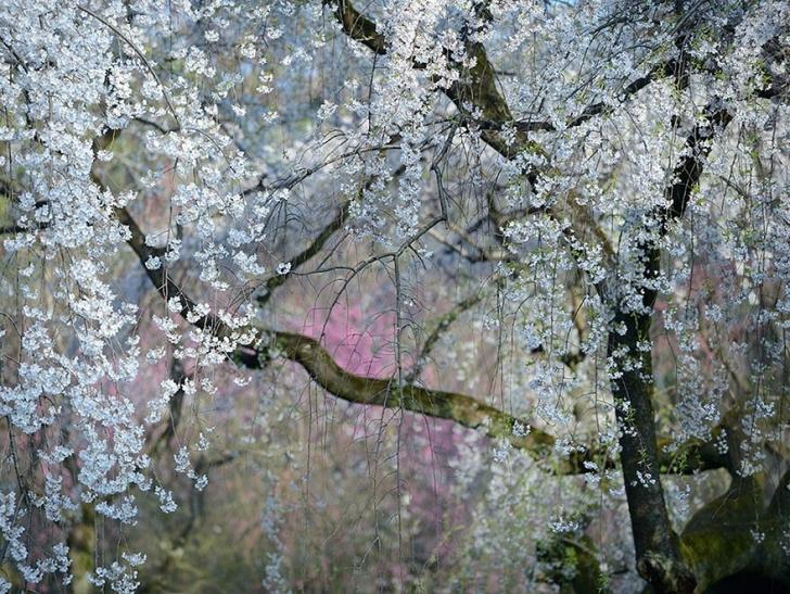 19. Muhteşem Bahar, Japonya