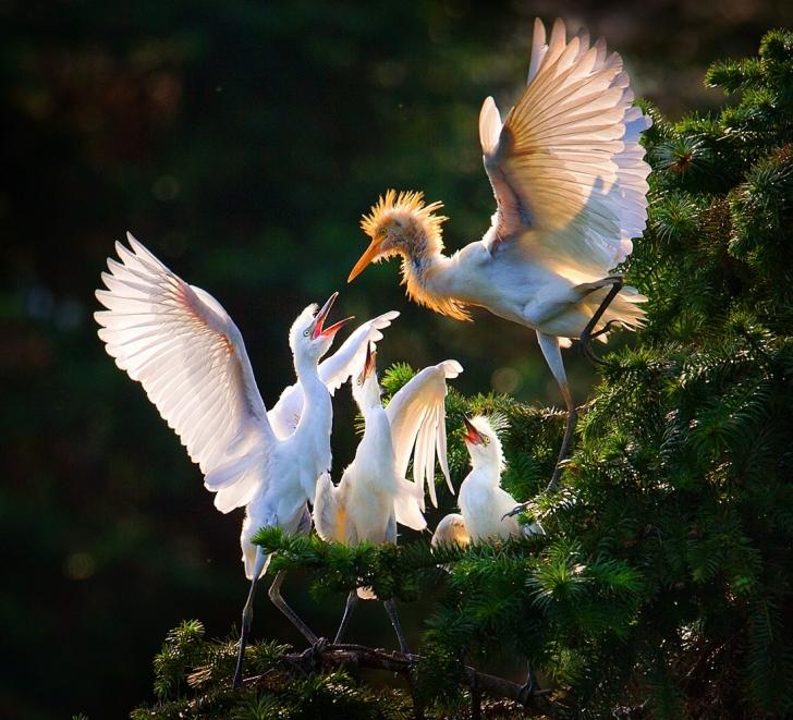 Balıkçıl kuş yavrularını besliyor, Çin