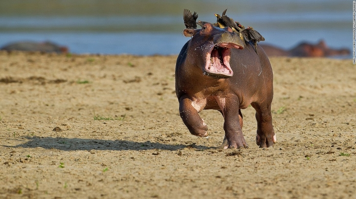Hippopotam Hitchcock'luk yaparken - Marc Mol