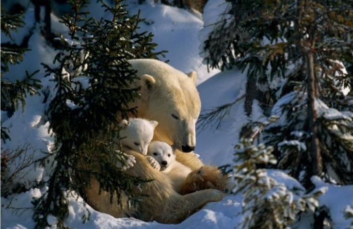 Anne kutup ayısı, karlar altındaki Kanada'nın her mevsim yeşil kalan bitkileri arasında yavrularını korurken bir yandan uyuyor.