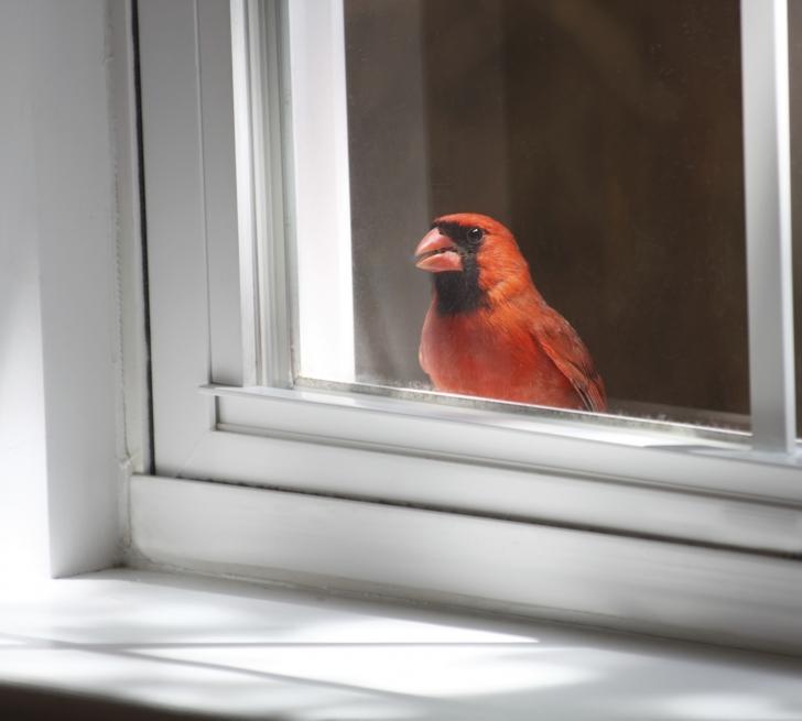 Kuşlar Pencereye Neden Çarpar?