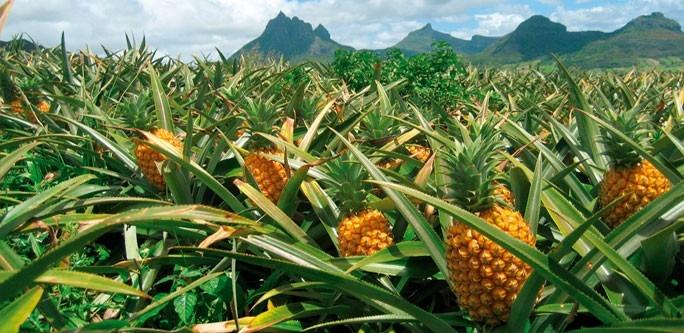 Mutfakların Tropikal Esintisi; Ananas