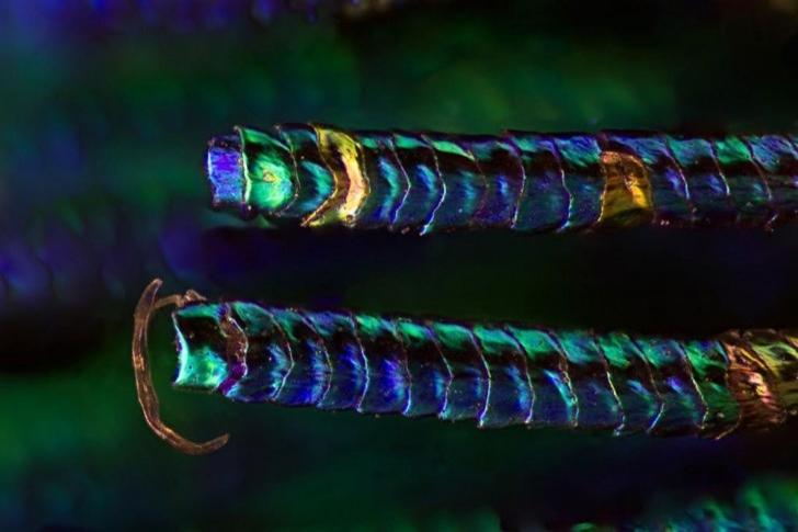 Tavuskuşu Tüylerinin Mikroskop Altındaki Olağanüstü Detayları