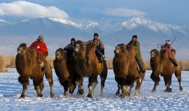 Moğolistan'da Deve Yarışı