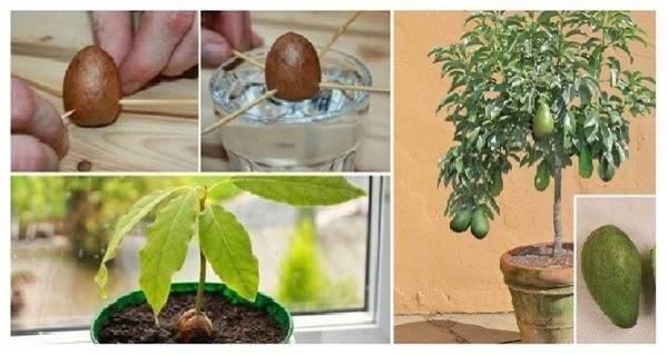 6 Basit Adımda Kendi Avokado Ağacınızı Yetiştirin