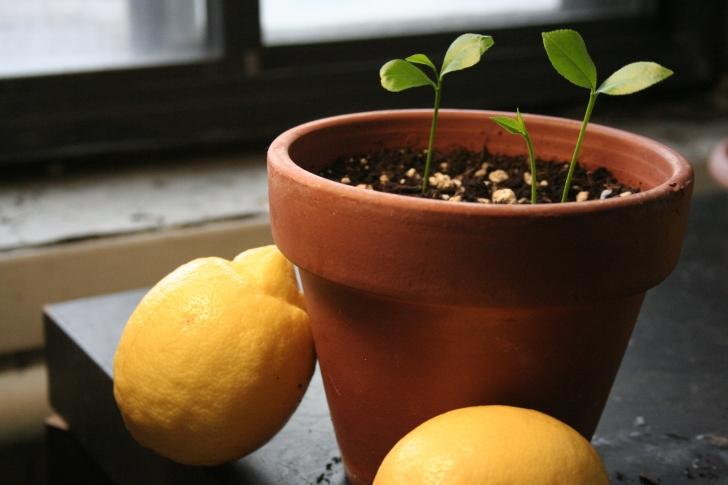 Limon Çekirdeğini Atmayın, Kendi Limon Ağacınızı Yetiştirin!