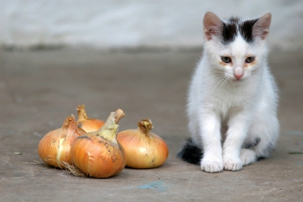 600px cat and onionsjpg 728x728