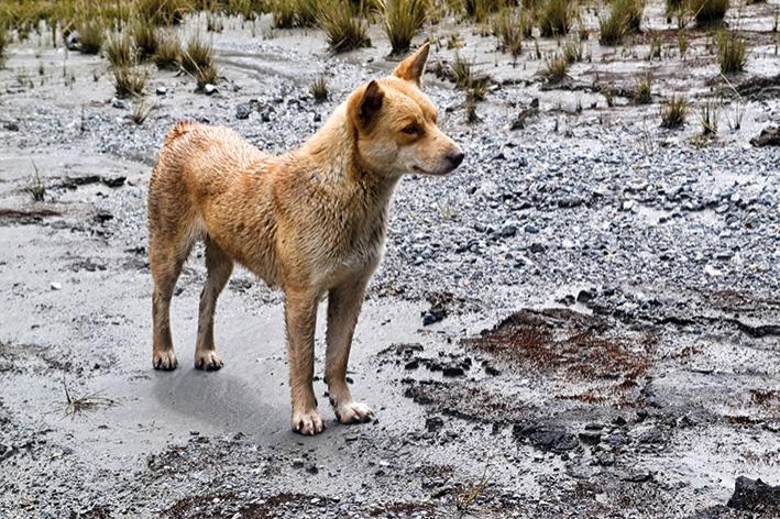 Yeni Gine Şarkıcı Köpeği