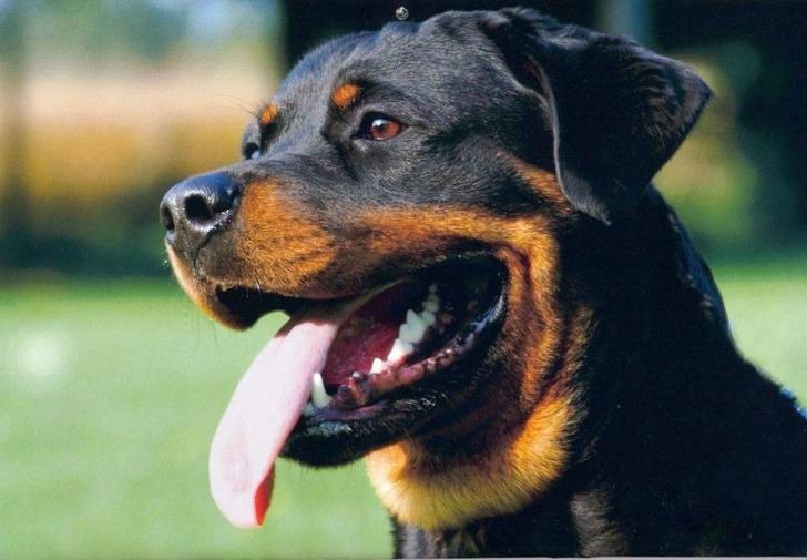 Dünyadaki En Akıllı 15 Köpek Cinsi